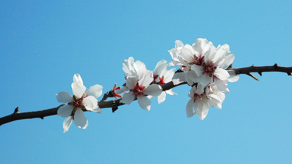 Flowers of Almond Tree
