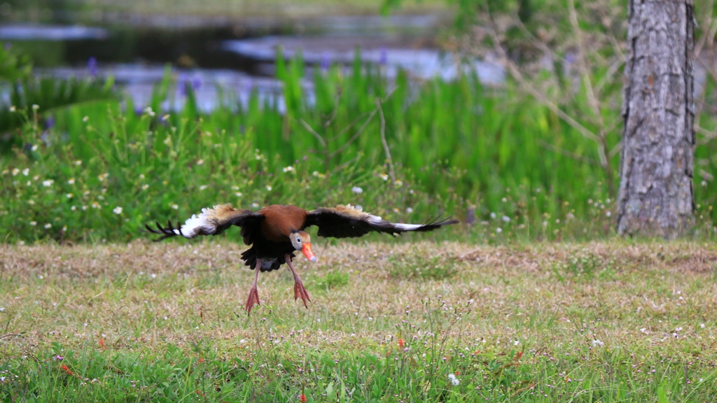 Whistling Duck