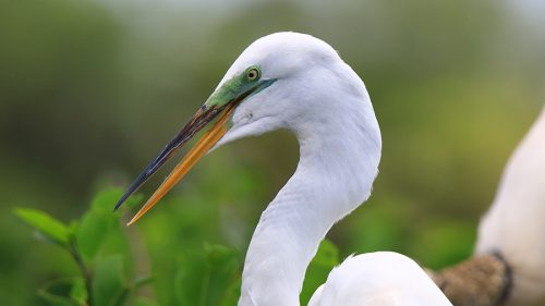 Great White Heron photo download