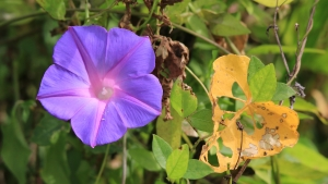 blue morning glory picture