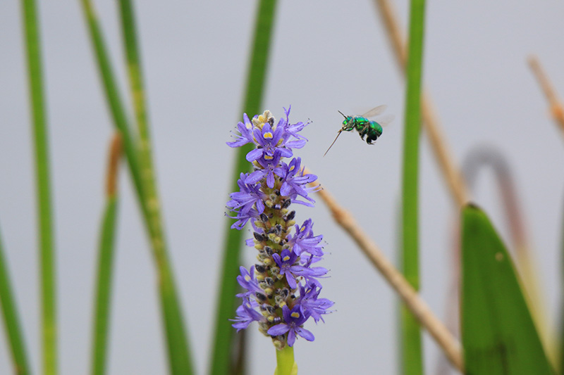 Pickerel Weed Picture