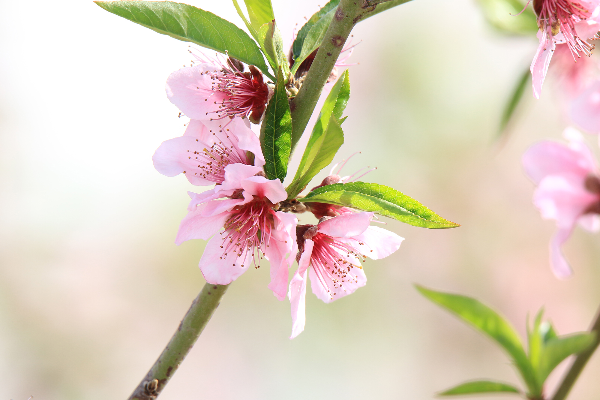 Peach tree blossom - Kopel Photography