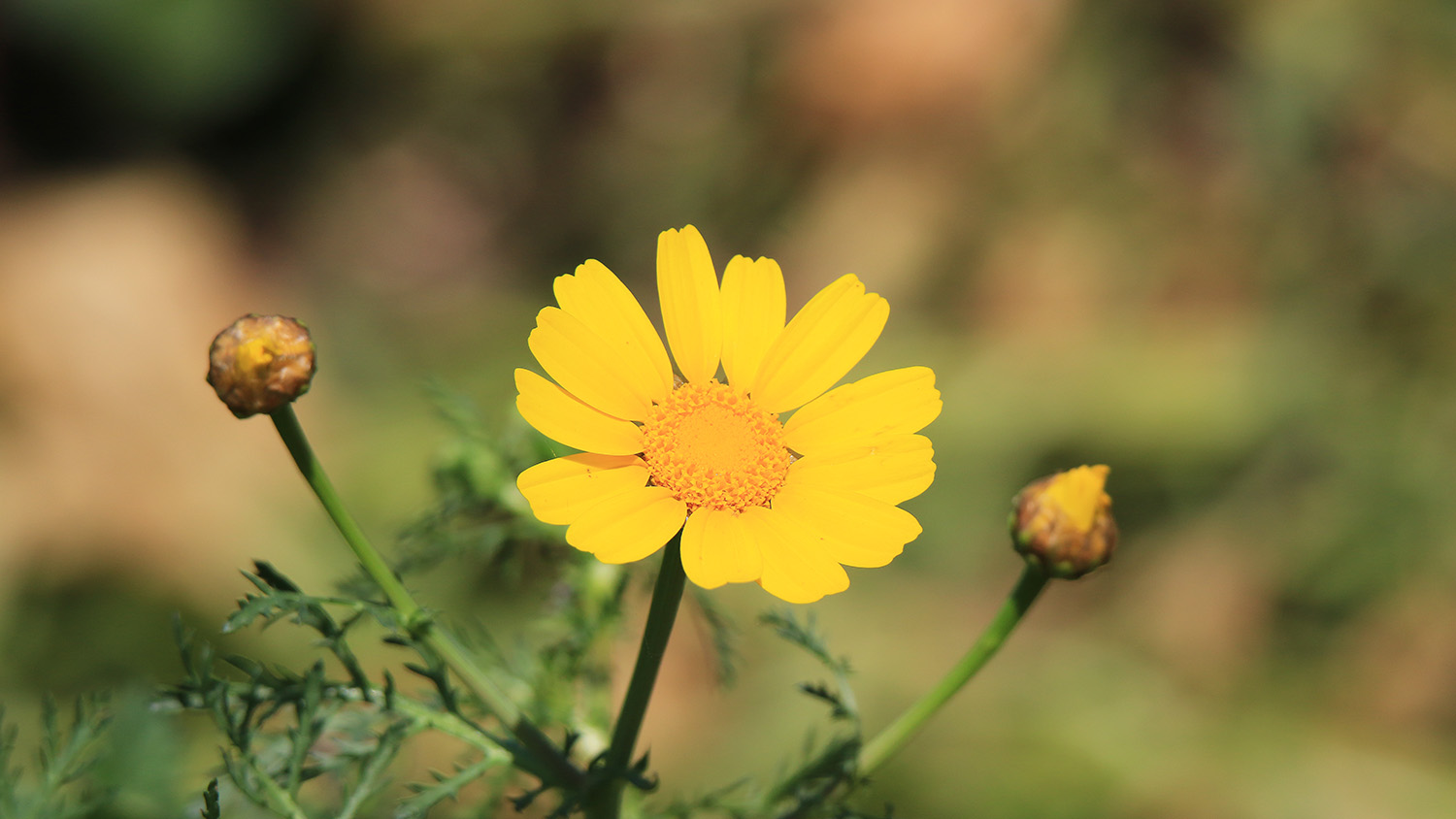 A Yellow Daisy Flower