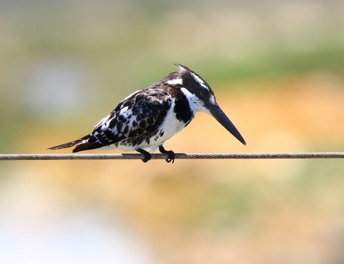 Pied Kingfisher Photograph