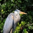 Great Blue Heron Photography